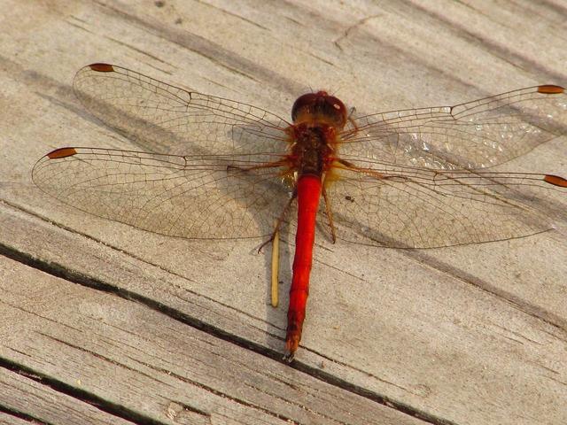 Dragonfly deck summer.