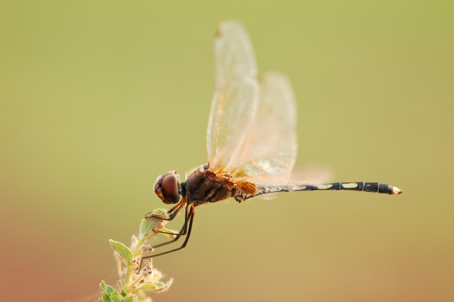 Dragonfly macro insect, animals.
