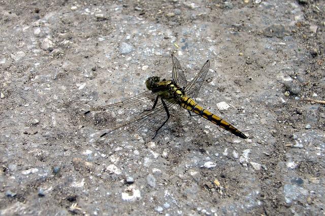 Dragonfly macro summer.