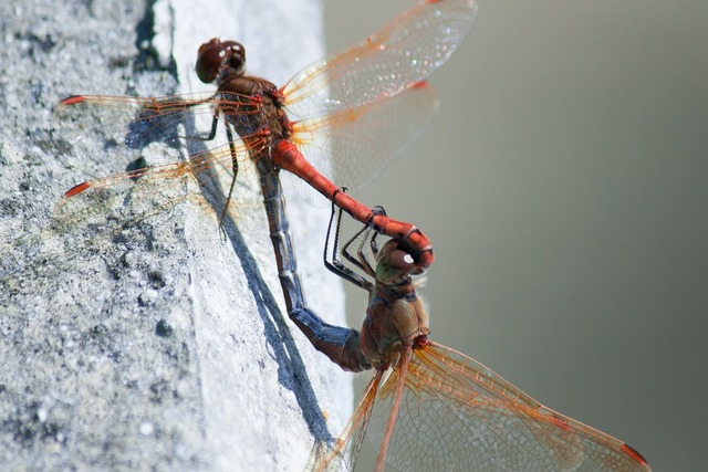 Dragonfly mating summer.