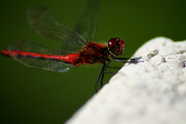 Dragonfly red awesome, animals.