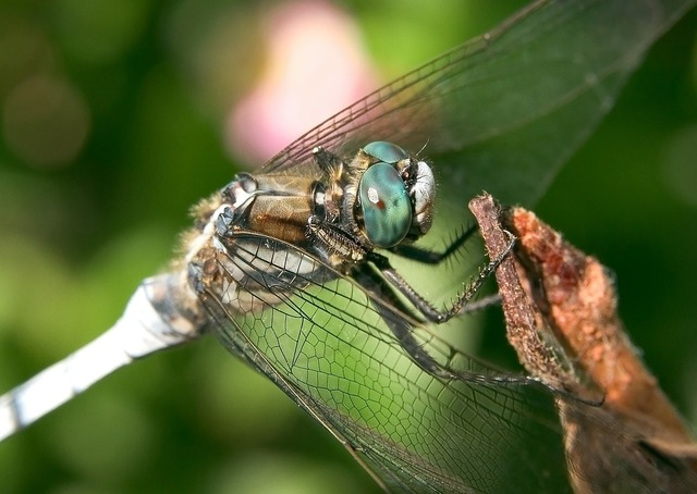 Dragonfly white tailed skimmer insect, animals.