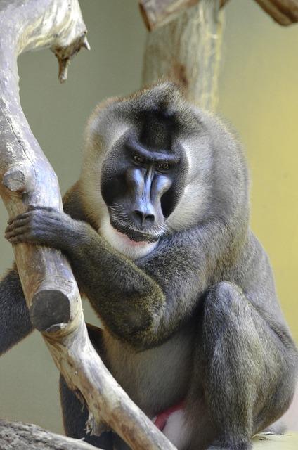 Drill baboon endangered.