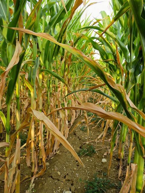 Drought corn field.