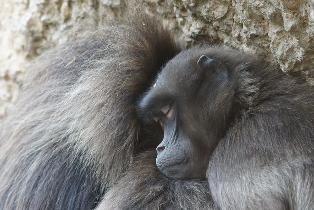 Dschelada ape primates.