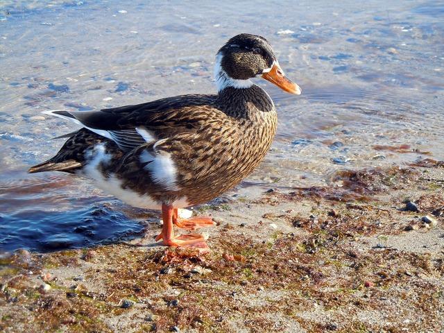 Duck beach water bird, travel vacation.