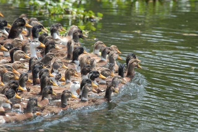 Duck herd band.