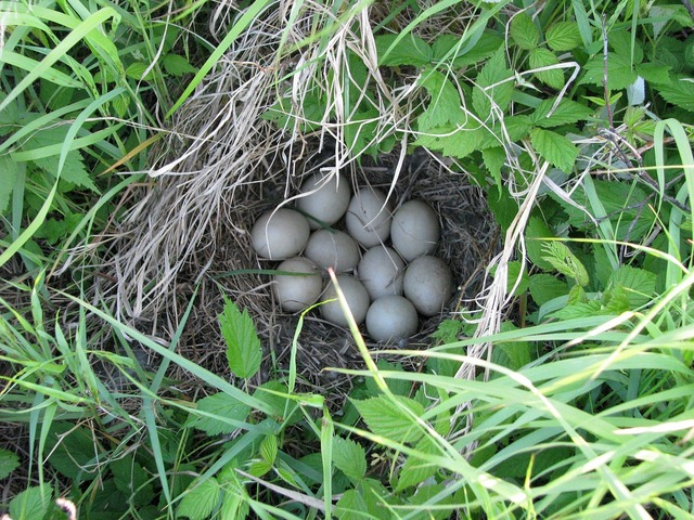 Duck nest eggs unknown species.