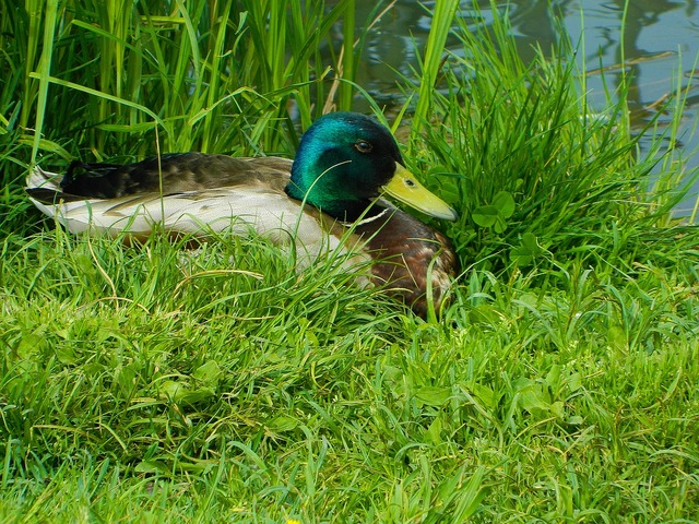 Duck waterfowl finnish, travel vacation.