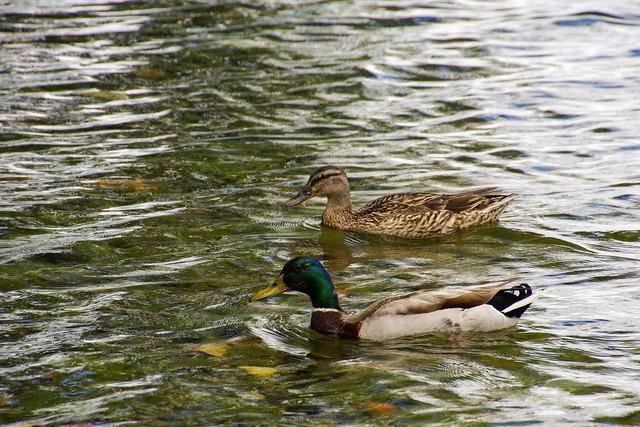 Ducks anatidi anas platyrhynchos.