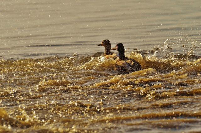 Ducks escape tracking, animals.