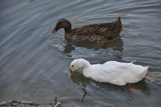 Ducks lake birds waterfowl.