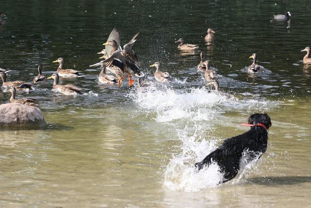 Ducks pond park, animals.