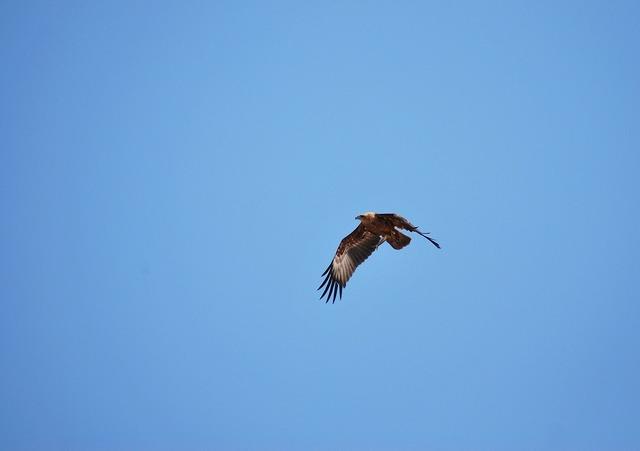 Eagle benaulim flying, travel vacation.