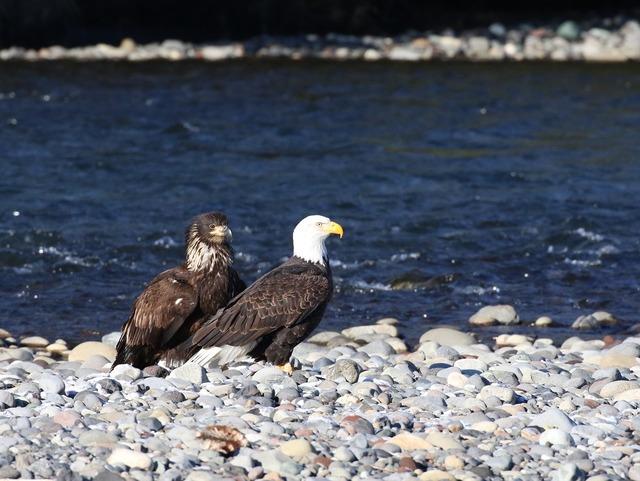 Eagle teaching fishing, animals.