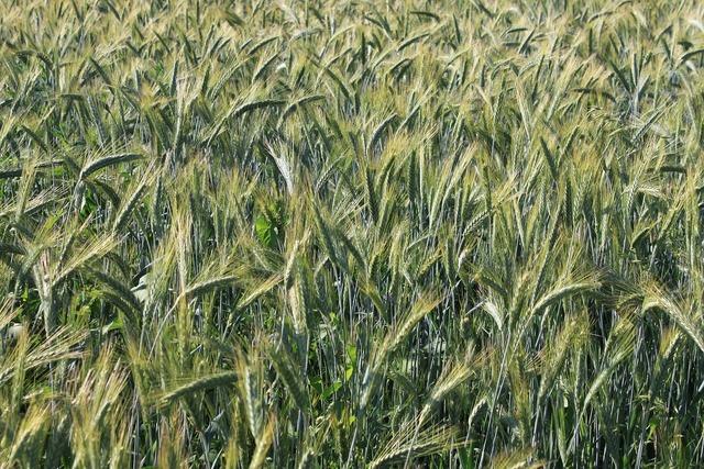 Ears field grain.