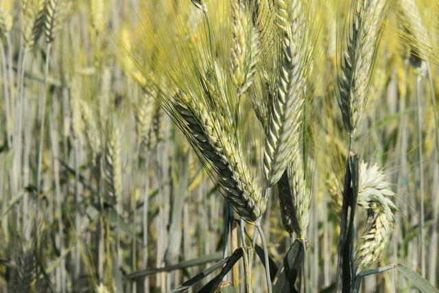 Ears of corn close cereals, nature landscapes.