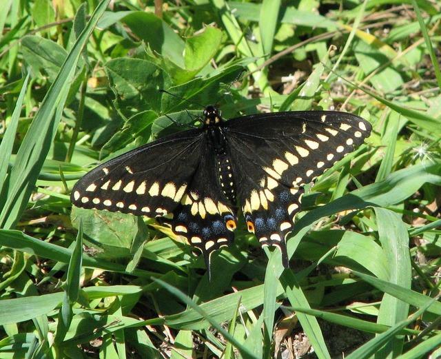 Eastern black swallowtail american black swallowtail parsnip butterfly.