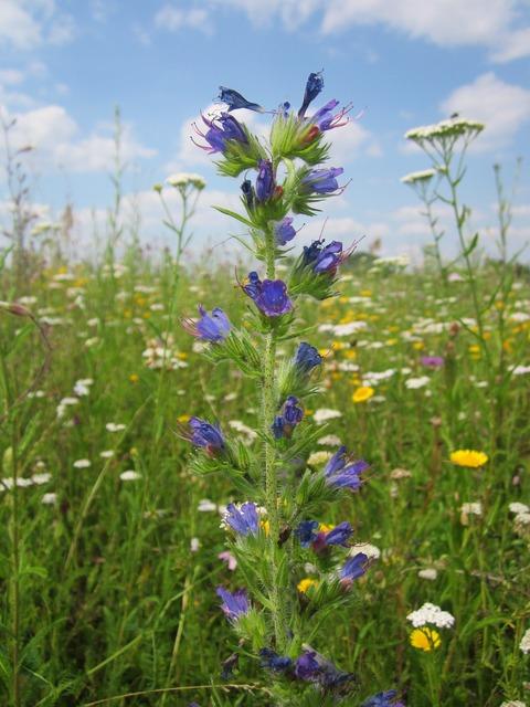 Echium vulgare viper's bugloss blueweed, nature landscapes.