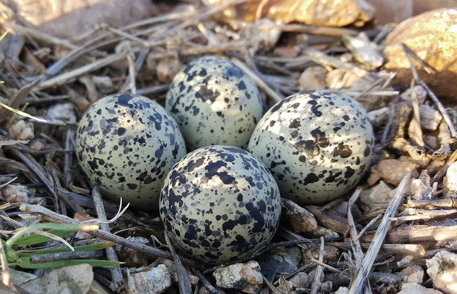 Eggs bird's eggs nest.
