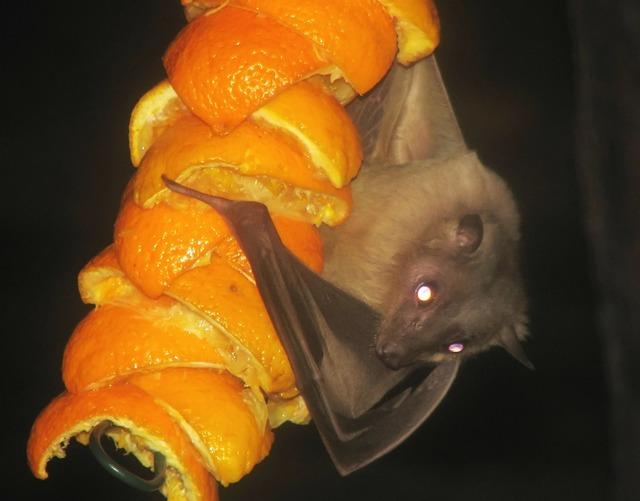 Egyptian fruitbat bat fruitbat, animals.