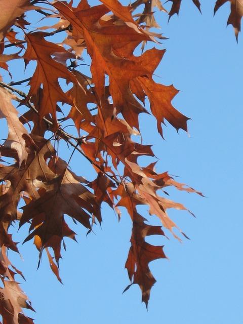 Eicehnblaetter oak red.