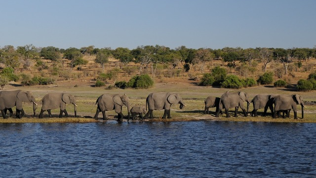 Elephant africa river.