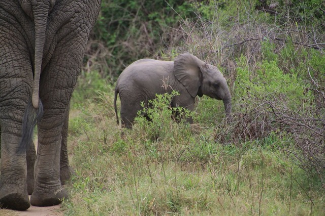 Elephant african bush elephant national park, nature landscapes.