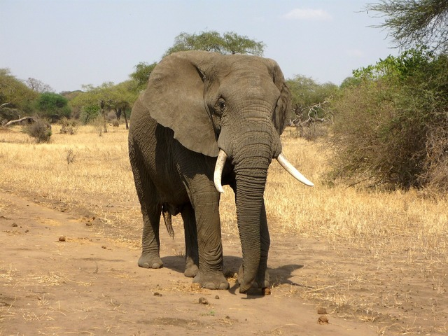 Elephant african bush elephant savannah.