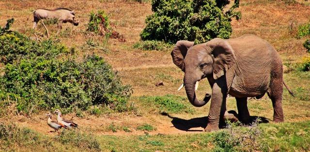 Elephant animal african bush elephant, animals.