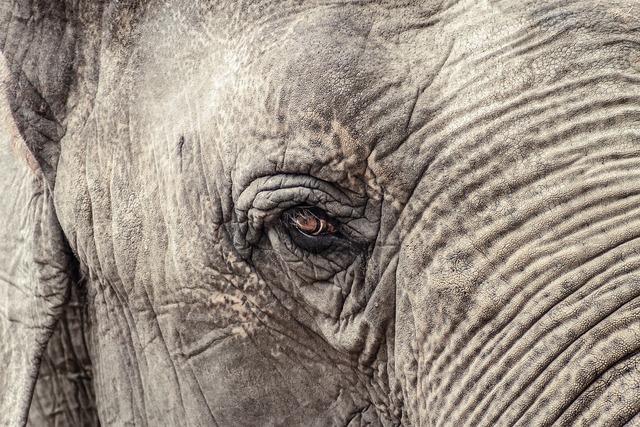Elephant animal grey, animals.