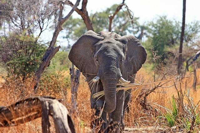 Elephant animal proboscis, animals.