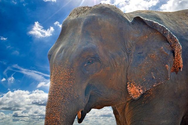 Elephant asian elephant giant.