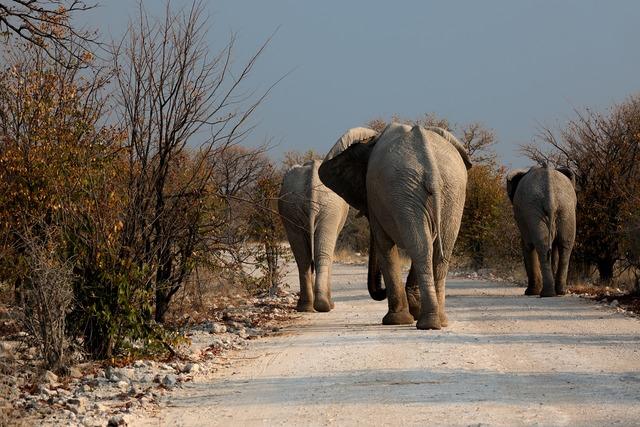 Elephant botswana wilderness, transportation traffic.