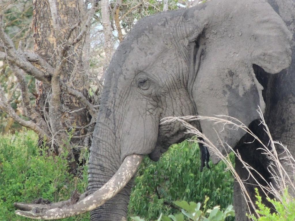 Elephant elephant head the african elephant.