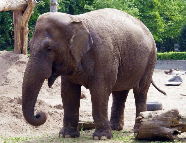 Elephant large mammal indonesian, animals.