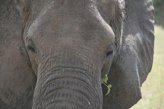 Elephant look africa, animals.