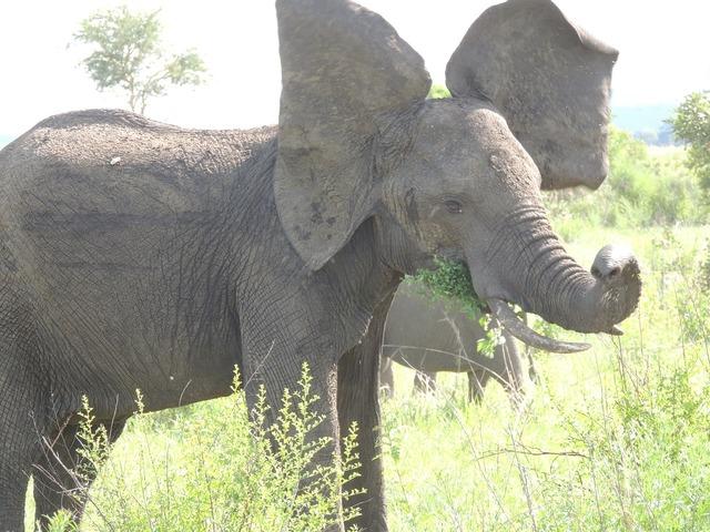 Elephant mammal wild, animals.