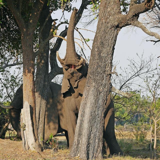 Elephant okavanga delta safari.