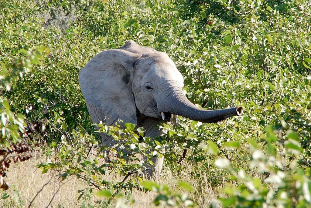 Elephant proboscis young animal.