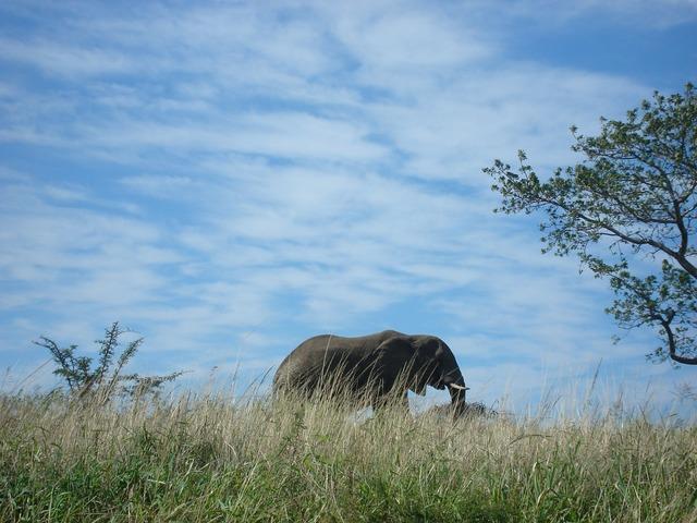 Elephant south africa, animals.