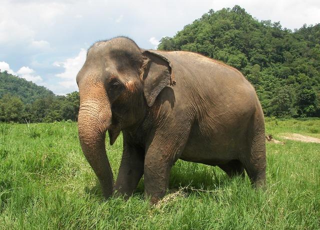Elephant thailand elephant nature park.