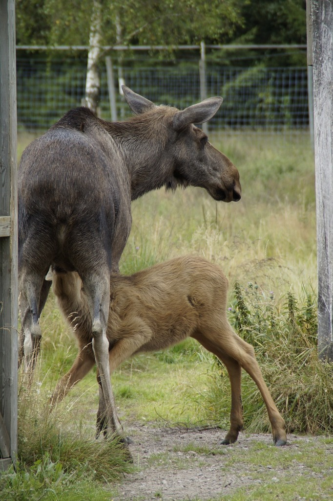 Elk park moose elche, animals.
