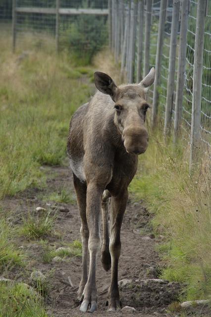 Elk park moose enclosure, animals.