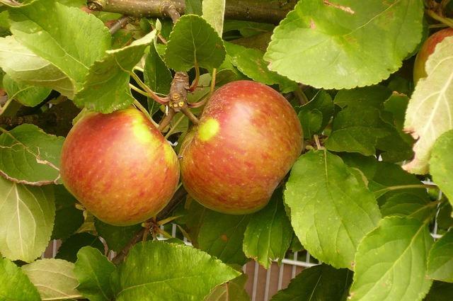 Elstar apple fruit vitamins, food drink.
