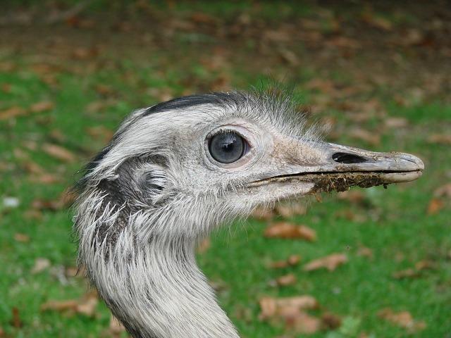 Emu wild animal bird, animals.
