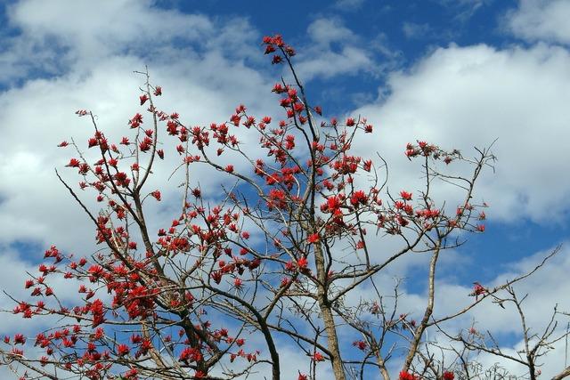 Erythrina indica coral tree sunshine tree.