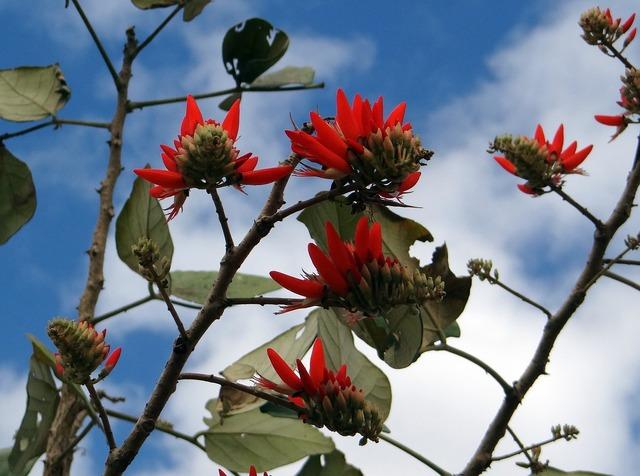Erythrina indica flower scarlet.