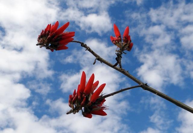 Erythrina indica scarlet flower.