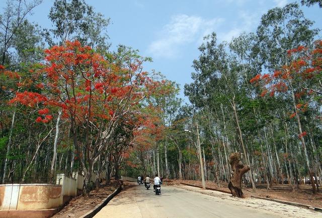 Eucalyptus trees avenue delonix regia.